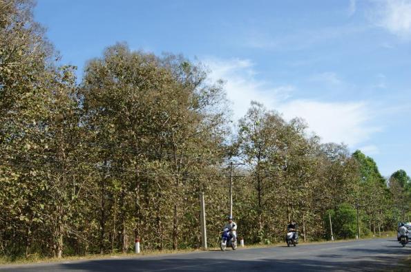 Rừng cây giá tỵ đặc dụng